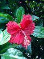 Hibiscus rosa-sinensis red Bhadrachalam Khammam.jpg