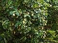 Hibiscus tiliaceus inflorescences Moora Park Shorncliffe Bramble Bay Queensland P1020193.jpg