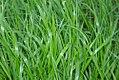 Hierochloe odorata 4zz.jpg