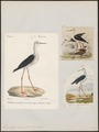 Himantopus autumnalis - 1700-1880 - Print - Iconographia Zoologica - Special Collections University of Amsterdam - UBA01 IZ17400185.tif