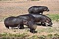 Hippo, Ruaha National Park (17) (28635802132).jpg