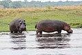 Hippopotamus in Chobe National Park 09.jpg