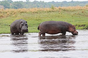 Hippopotamus in Chobe National Park 09.jpg