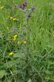 Hoher Vogelsberg Breungeshainer Heide Geiselstein Goldwiese Carduus x polyacanthus.png