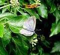 Holly Blue .upperside. Celastrina argiolus - Flickr - gailhampshire (1).jpg