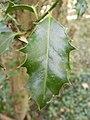 Holly Leaf - geograph.org.uk - 1522959.jpg