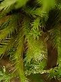 Homalothecium sericeum 105797938.jpg