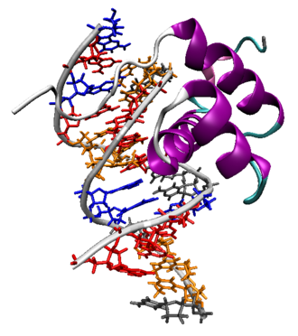 Homeobox - The Antennapedia homeodomain protein from Drosophila melanogaster bound to a fragment of DNA. The recognition helix and unstructured N-terminus are bound in the major and minor grooves respectively.