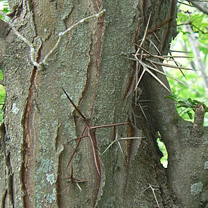 Bark and thorns of the Honey Locust