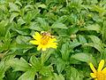 Honeybee on a flower 02.jpg