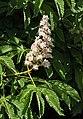 Horse chestnut flowers in Brodalen 5.jpg