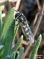 Hoverfly (FG) (5663415577).jpg