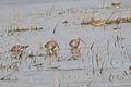 Hudsonian Godwits (Limosa haemastica) (14922110869).jpg