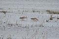 Hudsonian Godwits (Limosa haemastica) (14922242497).jpg