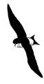 Huiszwaluw Delichon urbica Jos Zwarts 18.tif