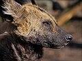 Hyänenhund (33231655528).jpg