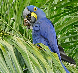 Hyacinth Macaw (Anodorhynchus hyacinthinus) feeding on palm nuts ... (28980194255).jpg