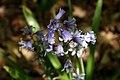 Hyacinthoides hispanica 0zz.jpg