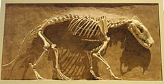 Hyaenodon horridus, Niobrara County, Wyoming, USA, Late Oligocene - Royal Ontario Museum - DSC00114.JPG