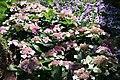 Hydrangea macrophylla Tokyo Delight 9zz.jpg