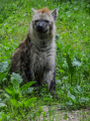 Hyena (27381937693).png
