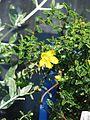 Hypericum balearicum (8977519074).jpg