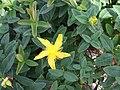 Hypericum calycinum a1.jpg