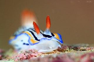 <i>Hypselodoris maritima</i> species of mollusc