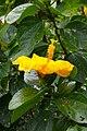IMG 8153 Hibiscus Photographed by Peak Hora.jpg