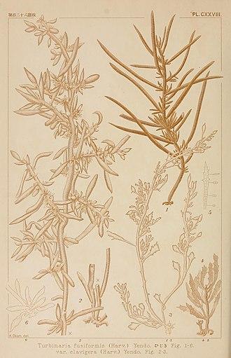 Hijiki - Image: Icones of Japanese algae (Pl. CXXVIII) (8006311177)
