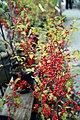 Ilex verticillata Sparkleberry 2zz.jpg
