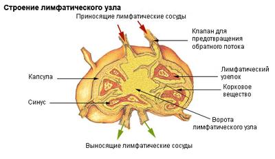 С анатомической точки зрения лимфоузел представляет собой небольшое серо-розового цвета образование, чаще округлой...