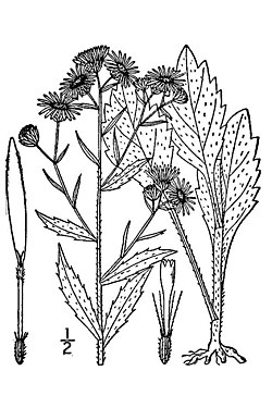 Illustration Erigeron annuus1.jpg