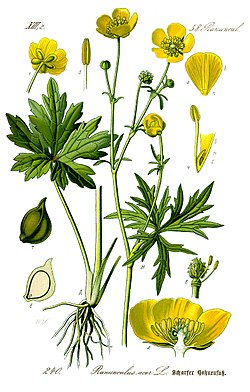 Illustration Ranunculus acris0 clean.jpg