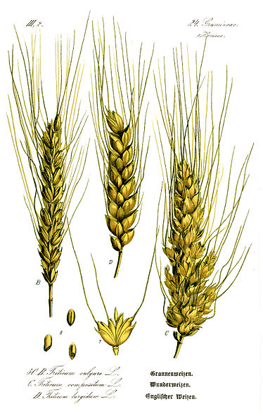 [wheat]