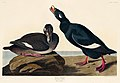 Illustration from Birds of America (1827) by John James Audubon, digitally enhanced by rawpixel-com 247.jpg