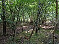 In a sunlit grove in Bourne Woods (geograph 6516920).jpg