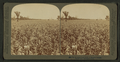 In the great corn fields of eastern Kansas, U.S.A, by Strohmeyer & Wyman.png