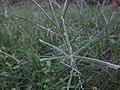 Indian Crow foot grass - ഇന്ത്യന് കാക്കകാലി പുല്ല് 02.JPG