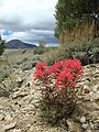 Indian Paintbrush and Red Mountain (19978951775).jpg