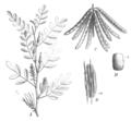 Indigofera tinctoria Taub115a.png