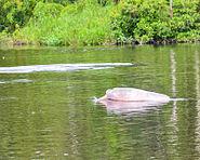 Inia geoffrensis Peruvian Amazon 0