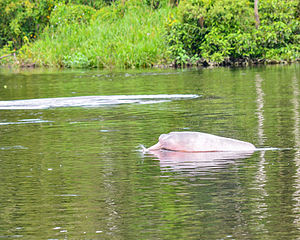 Shades of pink - Amazon dolphin