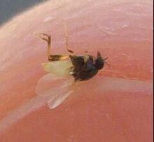 Quel insecte pique 3 fois - Insecte vert volant ...