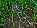 Iris graminea 001.JPG