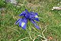 Iris latifolia, La Besurta 4.JPG