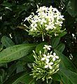 Ixora coccinea, white.jpg