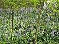 Jacinthes des bois de la coulée verte.jpg