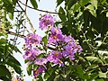 Jarul flowers Lagerstroemia speciosa DSCN8774 (1).jpg
