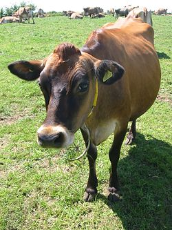 Jersey cattle in Jersey.jpg